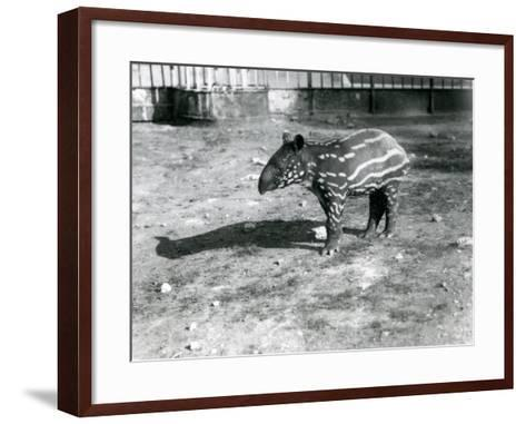 A Young Malayan Tapir at London Zoo, 5th October 1921-Frederick William Bond-Framed Art Print