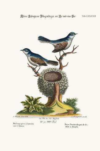 The Little Blue-Grey Flycatchers, Cock and Hen, 1749-73-George Edwards-Stretched Canvas Print
