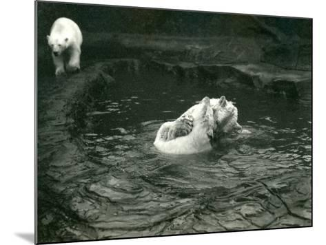 Two Polar Bears Romp in their Pool While Another Walks By, London Zoo, June 1922-Frederick William Bond-Mounted Photographic Print