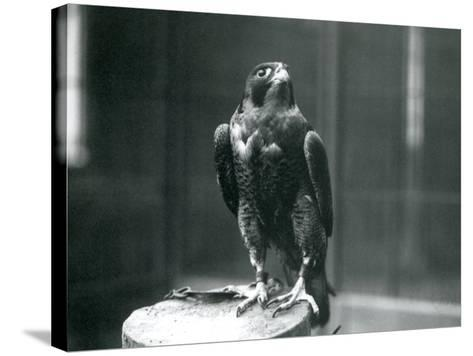 A Peregrine Falcon at London Zoo, January 1922-Frederick William Bond-Stretched Canvas Print