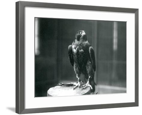 A Peregrine Falcon at London Zoo, January 1922-Frederick William Bond-Framed Art Print