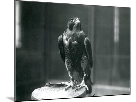A Peregrine Falcon at London Zoo, January 1922-Frederick William Bond-Mounted Photographic Print