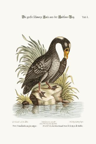 The Great Black Duck from Hudson's Bay, 1749-73-George Edwards-Stretched Canvas Print