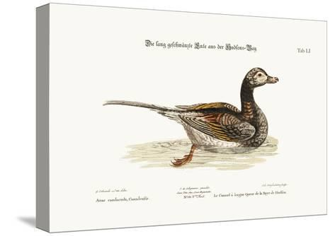 The Long-Tailed Duck from Hudson's Bay, 1749-73-George Edwards-Stretched Canvas Print