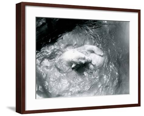 Polar Bears 'Sam' and 'Barbara' Playing in their Pool at London Zoo, June 1921-Frederick William Bond-Framed Art Print