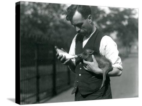 Keeper Harry Warwick Bottle Feeds a Baby Warthog at London Zoo, in August 1922-Frederick William Bond-Stretched Canvas Print