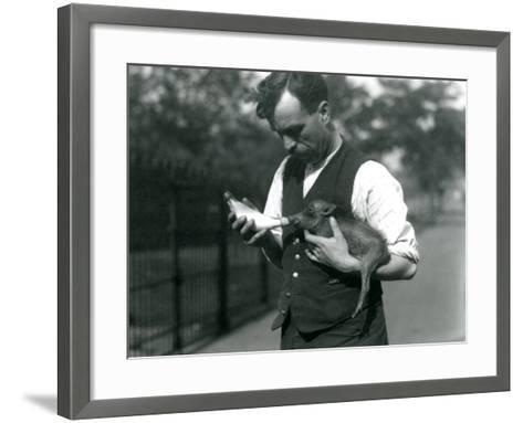 Keeper Harry Warwick Bottle Feeds a Baby Warthog at London Zoo, in August 1922-Frederick William Bond-Framed Art Print