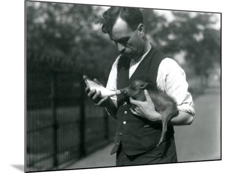 Keeper Harry Warwick Bottle Feeds a Baby Warthog at London Zoo, in August 1922-Frederick William Bond-Mounted Photographic Print