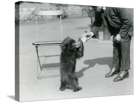 Keeper Harry Warwick Bottle Feeds a Sloth Bear Cub at London Zoo, August 1921-Frederick William Bond-Stretched Canvas Print