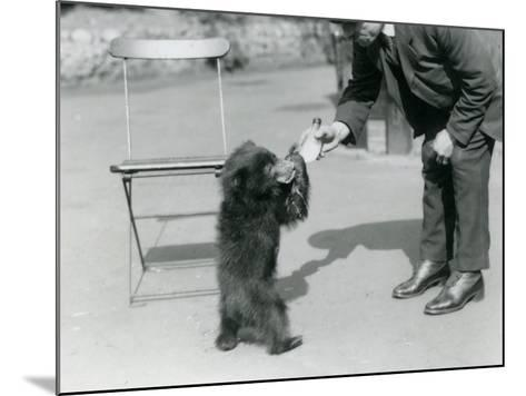 Keeper Harry Warwick Bottle Feeds a Sloth Bear Cub at London Zoo, August 1921-Frederick William Bond-Mounted Photographic Print