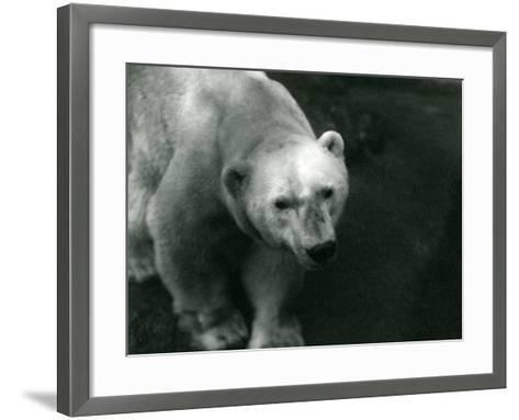 Polar Bear 'Sam' at London Zoo November 1920-Frederick William Bond-Framed Art Print