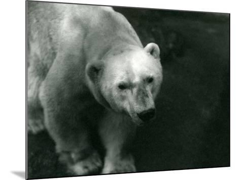 Polar Bear 'Sam' at London Zoo November 1920-Frederick William Bond-Mounted Photographic Print