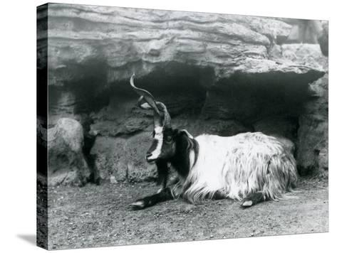 A Curly-Horned Goat at London Zoo, June 1922-Frederick William Bond-Stretched Canvas Print
