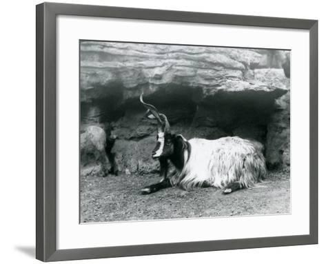 A Curly-Horned Goat at London Zoo, June 1922-Frederick William Bond-Framed Art Print