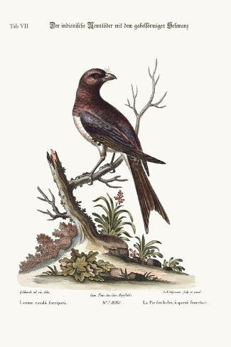 The Fork-Tailed Indian Butcher-Bird, 1749-73-George Edwards-Stretched Canvas Print