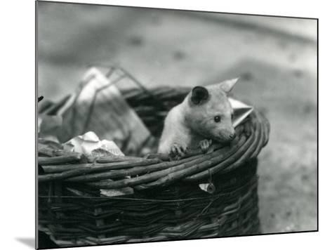 A Young Albino Opossum Peering Out of a Basket at London Zoo, October 1920-Frederick William Bond-Mounted Photographic Print