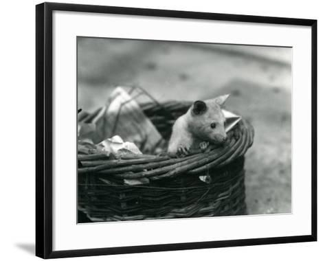 A Young Albino Opossum Peering Out of a Basket at London Zoo, October 1920-Frederick William Bond-Framed Art Print