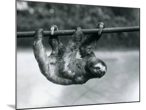 A Three-Toed Sloth Slowly Makes its Way Along a Pole at London Zoo, C.1913-Frederick William Bond-Mounted Photographic Print