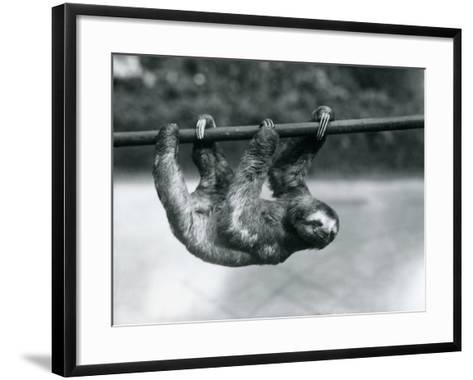 A Three-Toed Sloth Slowly Makes its Way Along a Pole at London Zoo, C.1913-Frederick William Bond-Framed Art Print