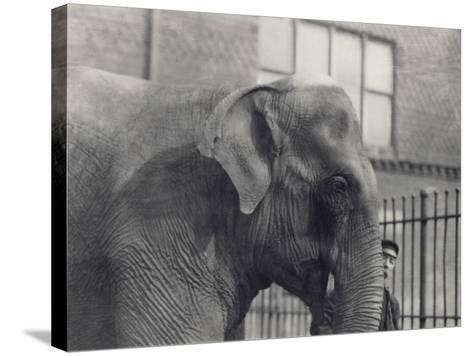 Asian Elephant with Keeper, London Zoo, 1914-Frederick William Bond-Stretched Canvas Print