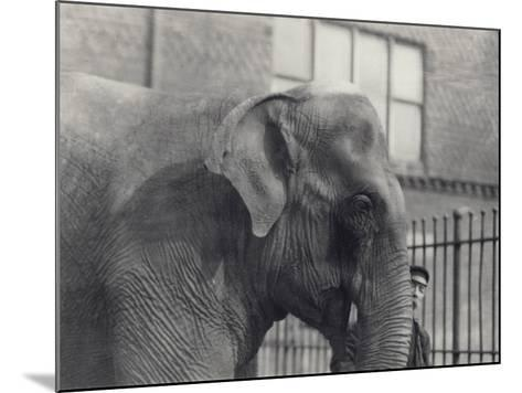 Asian Elephant with Keeper, London Zoo, 1914-Frederick William Bond-Mounted Photographic Print