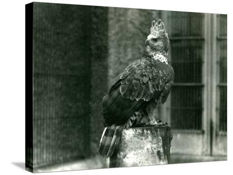 A Crowned Eagle at London Zoo, June 1922-Frederick William Bond-Stretched Canvas Print