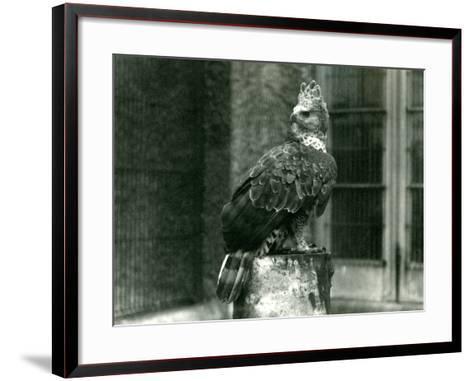 A Crowned Eagle at London Zoo, June 1922-Frederick William Bond-Framed Art Print