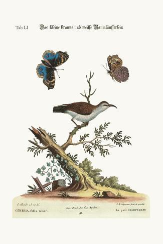 The Little Brown and White Creeper, 1749-73-George Edwards-Stretched Canvas Print