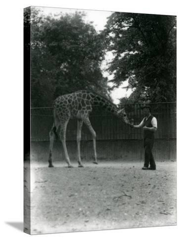 Giraffe 'Maud' Feeding from Keeper's Hand, London Zoo June 1953-Frederick William Bond-Stretched Canvas Print