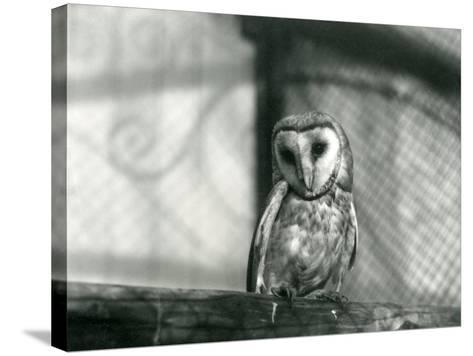 A Barn Owl at London Zoo, January 1922-Frederick William Bond-Stretched Canvas Print
