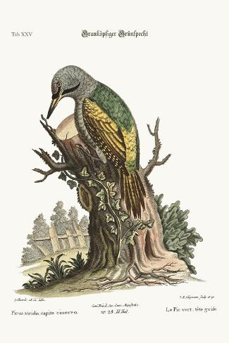 The Grey-Headed Green Woodpecker, 1749-73-George Edwards-Stretched Canvas Print