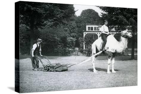 Camel Lawn-Mower, Ridden by Gardener Fred Perry at London Zoo, 1913-Frederick William Bond-Stretched Canvas Print