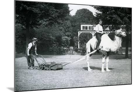 Camel Lawn-Mower, Ridden by Gardener Fred Perry at London Zoo, 1913-Frederick William Bond-Mounted Photographic Print