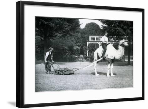 Camel Lawn-Mower, Ridden by Gardener Fred Perry at London Zoo, 1913-Frederick William Bond-Framed Art Print