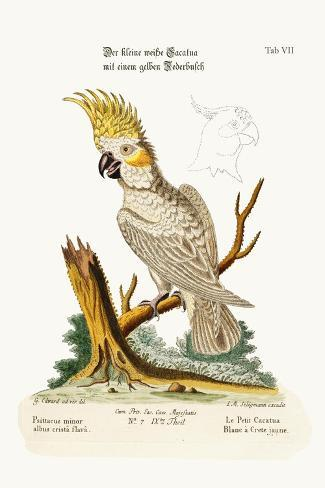The Lesser White Cockatoo with a Yellow Crest, 1749-73-George Edwards-Stretched Canvas Print