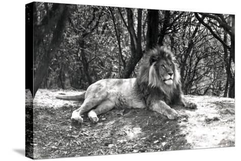 A Lion Lying Down Photographed at Whipsnade Zoo, 1935-Frederick William Bond-Stretched Canvas Print