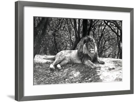 A Lion Lying Down Photographed at Whipsnade Zoo, 1935-Frederick William Bond-Framed Art Print