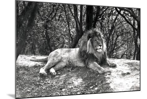A Lion Lying Down Photographed at Whipsnade Zoo, 1935-Frederick William Bond-Mounted Photographic Print