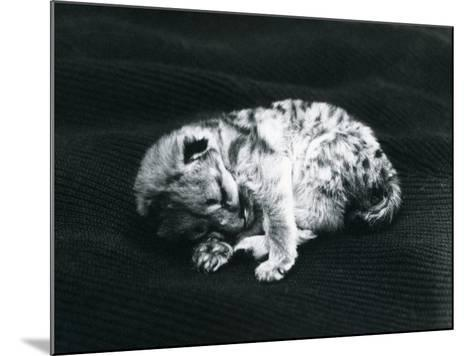 A Puma Cub at London Zoo-Frederick William Bond-Mounted Photographic Print