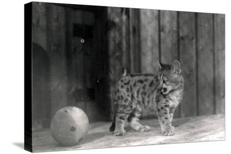 Leopard Cub with a Ball-Frederick William Bond-Stretched Canvas Print