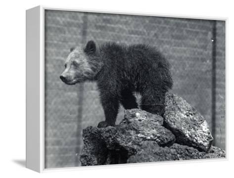 Grizzly Bear Cub-Frederick William Bond-Framed Canvas Print
