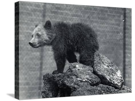 Grizzly Bear Cub-Frederick William Bond-Stretched Canvas Print