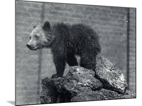 Grizzly Bear Cub-Frederick William Bond-Mounted Photographic Print