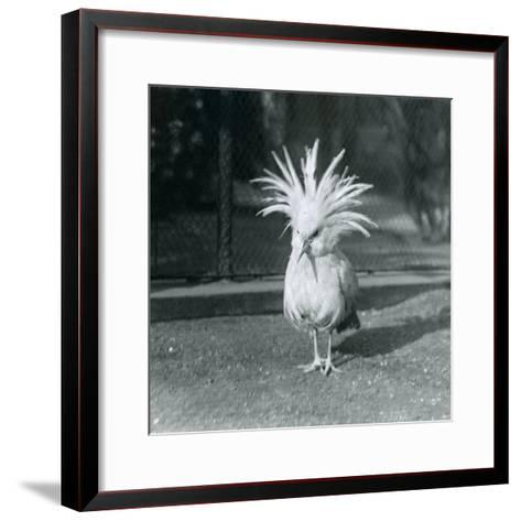 A Kagu or Cagu Displaying its Crest Feathers at London Zoo, June 1921-Frederick William Bond-Framed Art Print