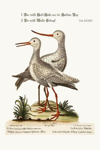 The White Godwit from Hudson's Bay. the White Red-Shank or Pool-Snipe, 1749-73-George Edwards-Stretched Canvas Print
