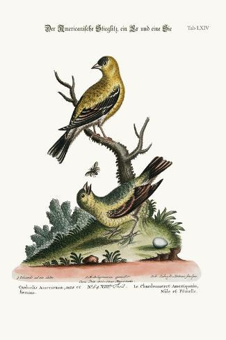 The American Goldfinch, Cock and Hen, 1749-73-George Edwards-Stretched Canvas Print