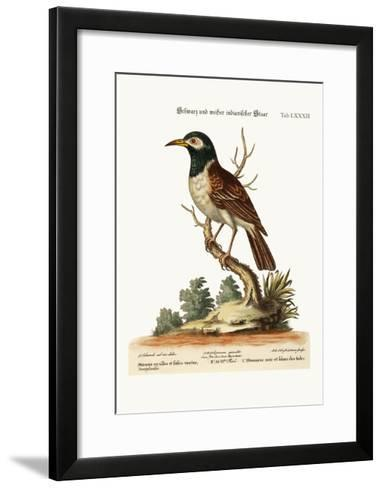 The Black and White Indian Starling, 1749-73-George Edwards-Framed Art Print
