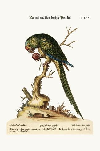 The Red and Blue-Headed Parrakeet, 1749-73-George Edwards-Stretched Canvas Print