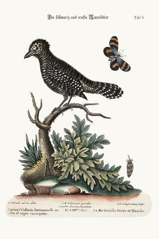 The Black and White Butcher-Bird, 1749-73-George Edwards-Stretched Canvas Print