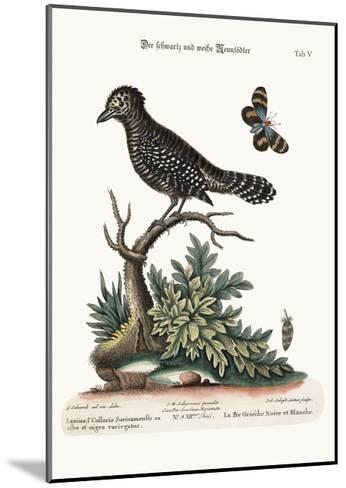 The Black and White Butcher-Bird, 1749-73-George Edwards-Mounted Giclee Print